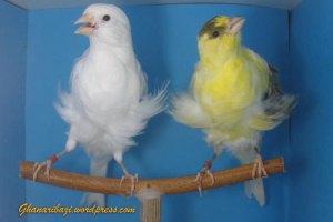 frill-Canary
